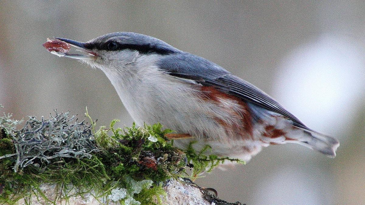 Fågeln nötväcka med en jordnöt i näbben.