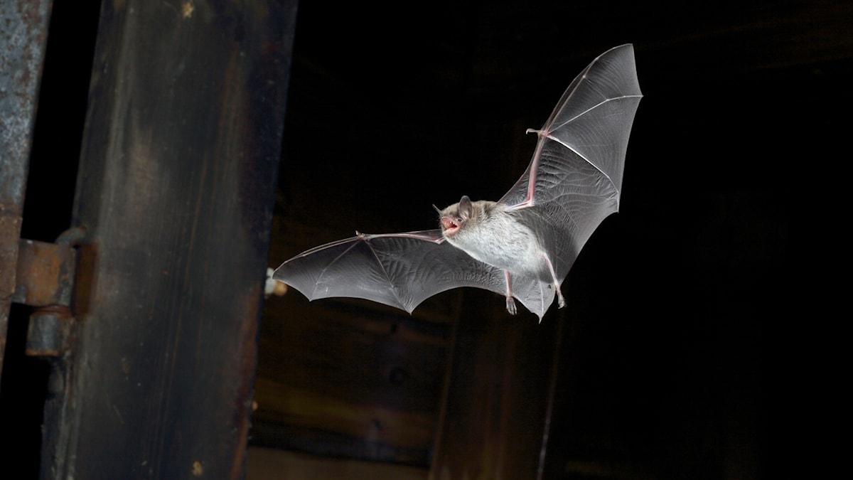 En vattenfladdermus, Myotis daubentonii, som flyger i natten.