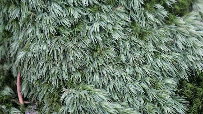 En tät mossa som påminner om enbusken. En dansk blåmossa.