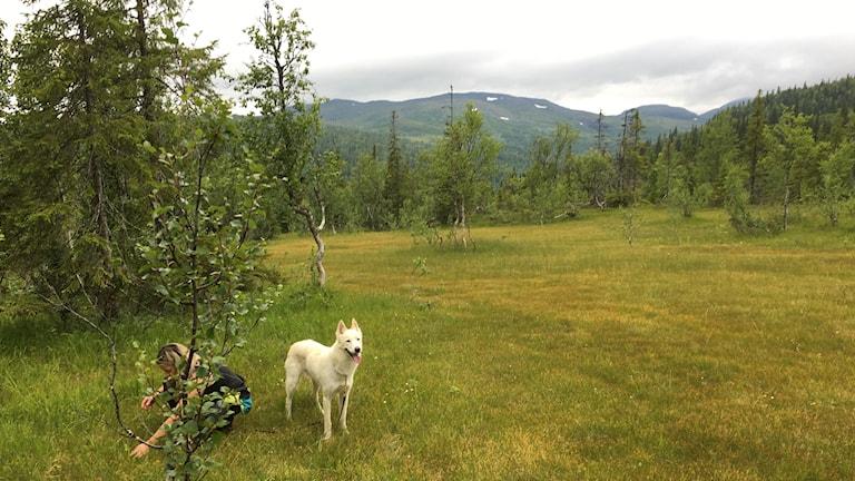 Här växte tvåbladet, på väg upp på Jormiklumpen. Fjällekolog Lisa Öberg och hennes hund Rasmus.