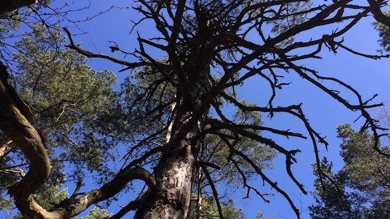 Ett torrt gammalt träd