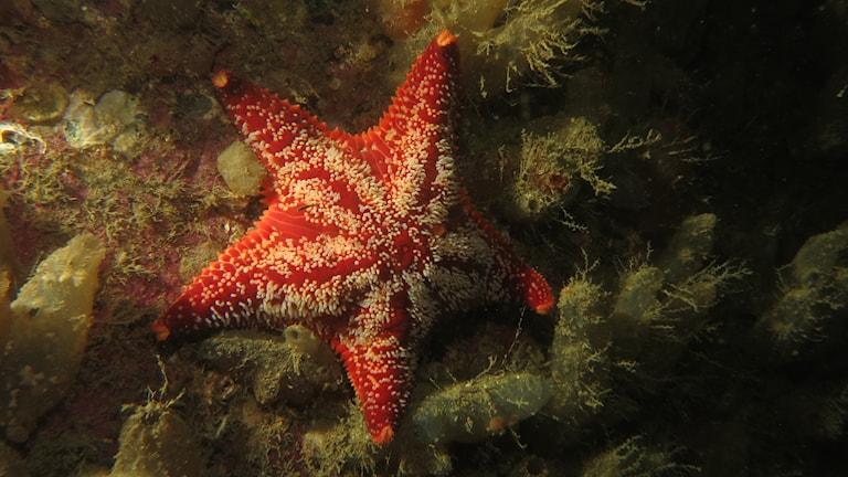 En lite knubbig, röd femarmad sjöstjärna. Kuddsjöstjärna (Porania pullvillus)