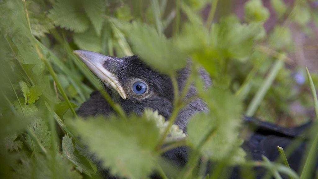 En närbild på en kajas unge, man ser bara ögat och näbben bland grönskan.