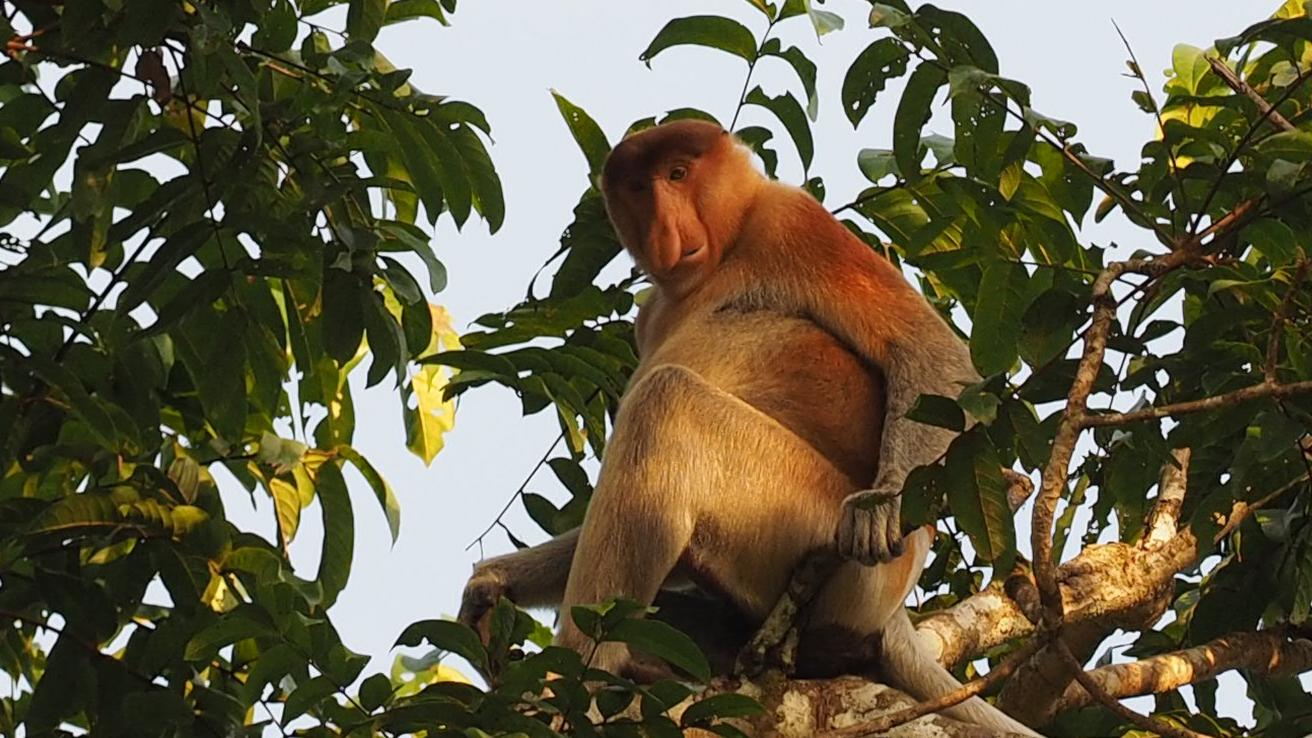 En hotad apa med stor näsa - och fågelparadiset Lamburträsk - spela