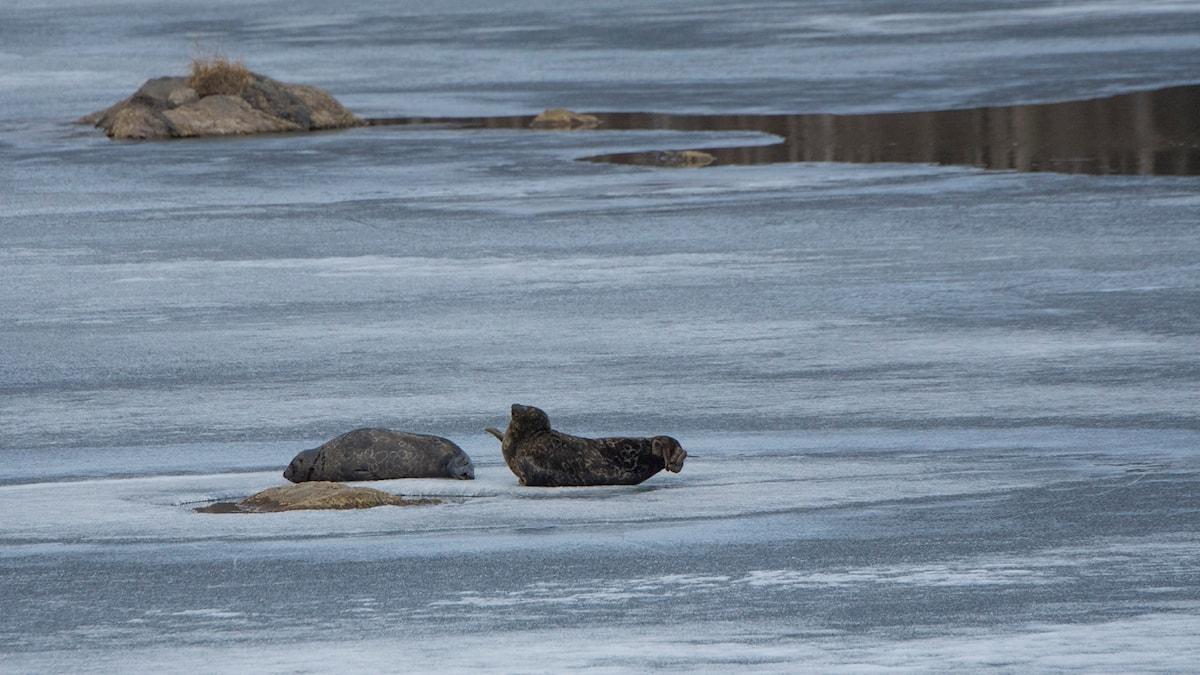 I maj ligger saimensälarna uppe på den sista isen för att ömsa päls.