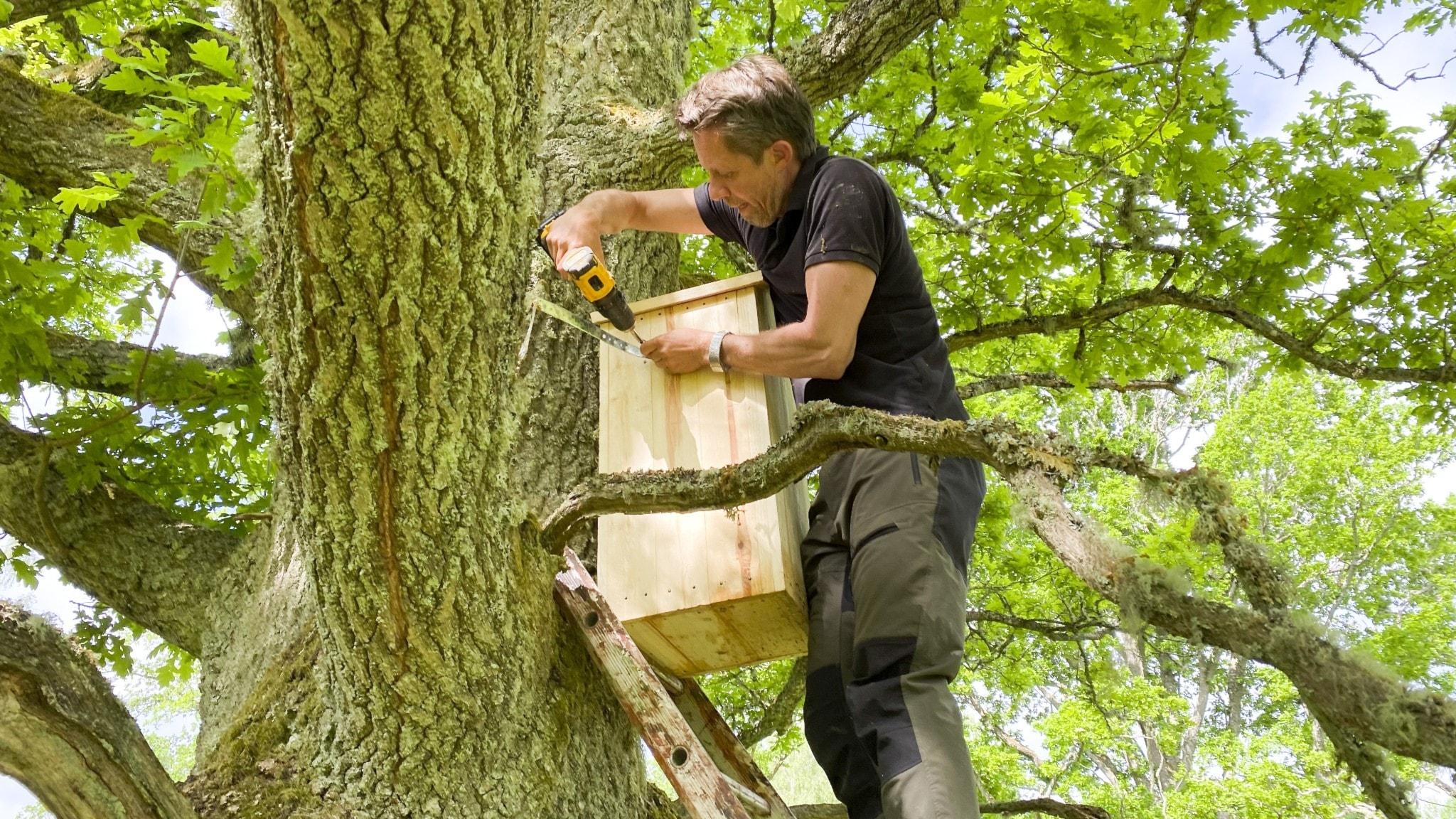 En man skruvar upp en mulmholk i en ek.