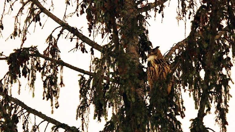 En uggla - en berguv, Bubo bubo i ett träd