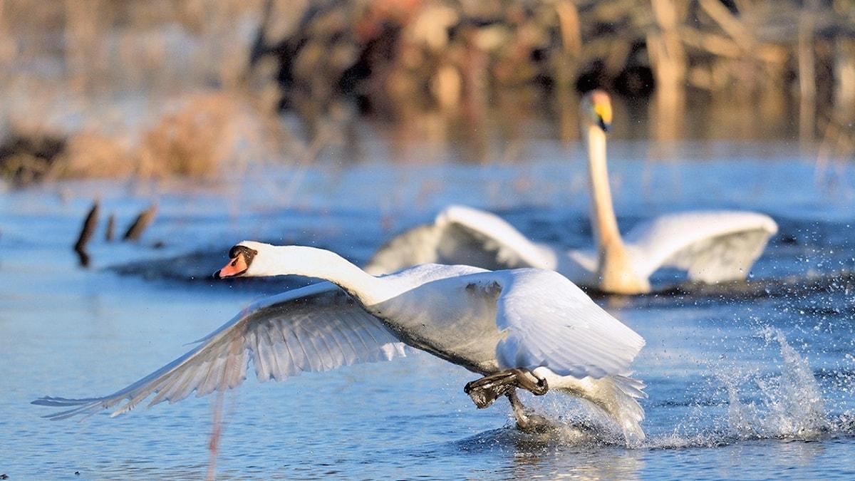 När sångsvan och knölsvan strider om samma miljö brukar sångsvanen vara den starkare. Detta till trots häckar kanske bara 5-6 par sångsvan i Hornborgasjön medan knölsvanarna är många, många gånger fler.