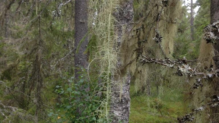 Lång skägglav i Långrumpskogen