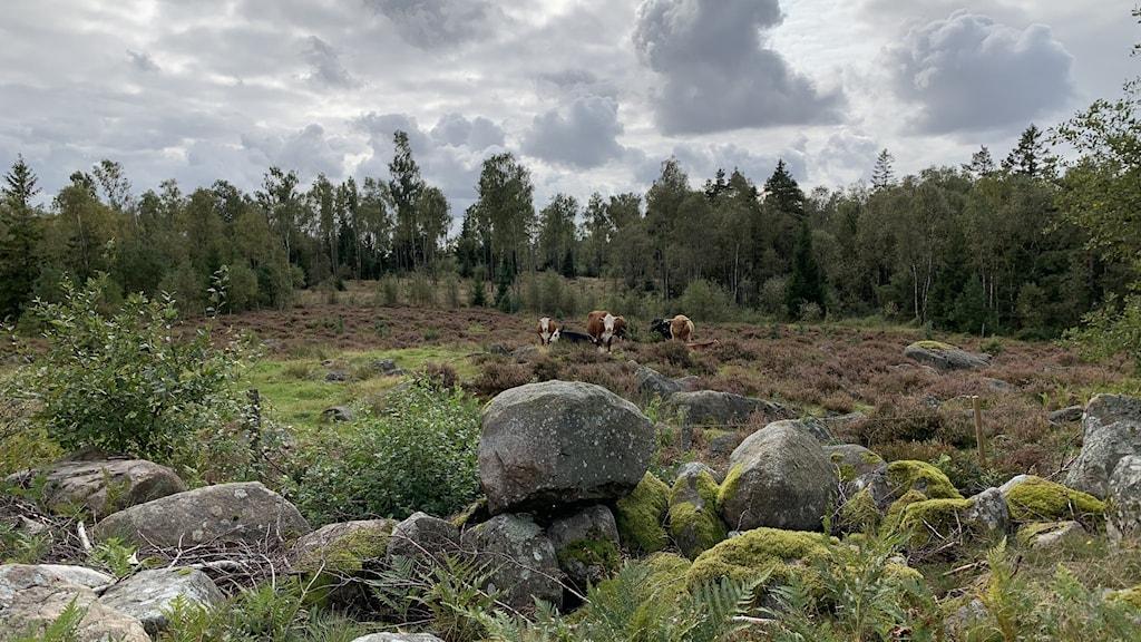 Myr med betande kor och stenmur