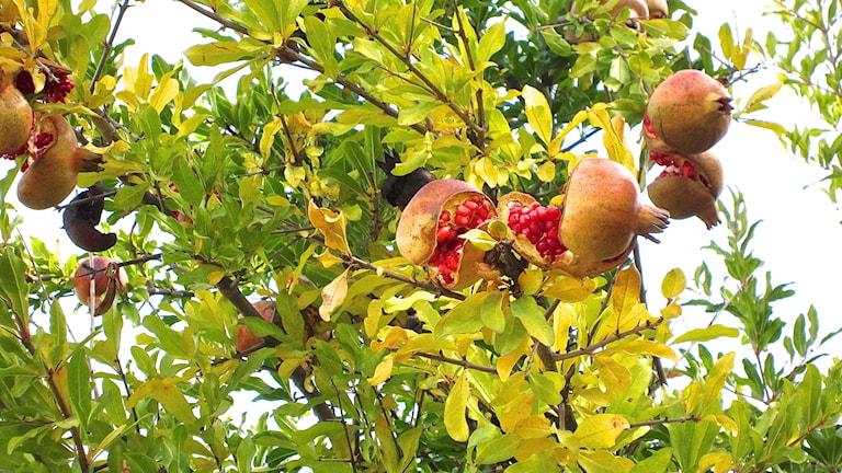Granatäpple Punica granatum, frukt på träd