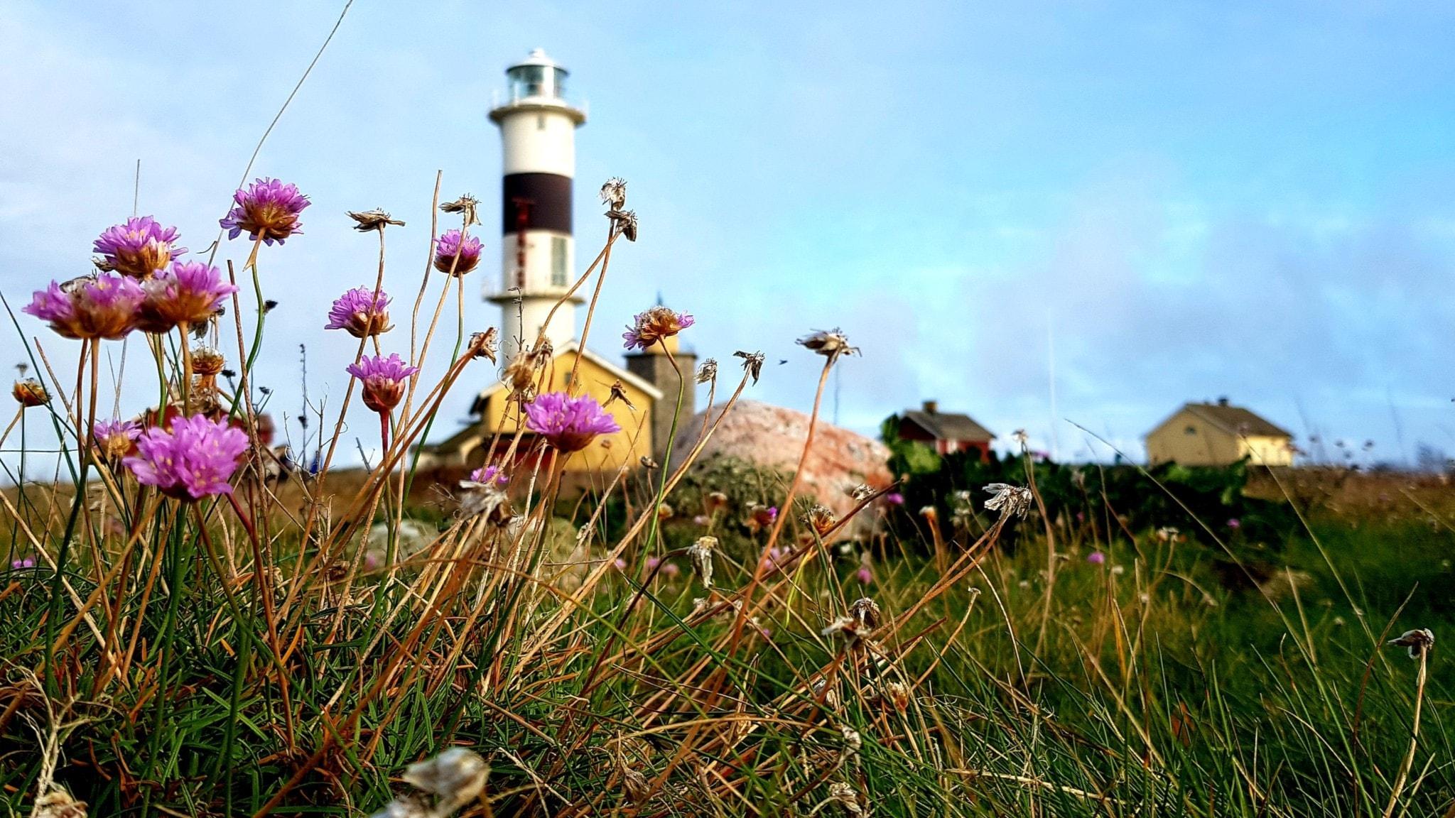 Ett fyrtorn i bakgrunden och en blommande violett växt i förgrunden