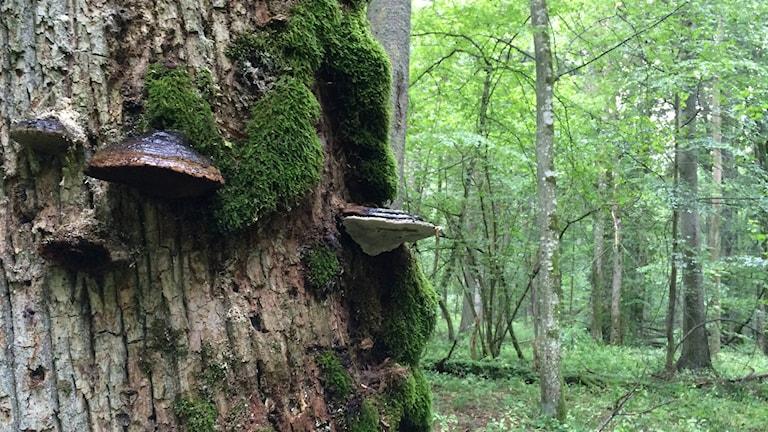 Tickor i Bialowiezaskogen