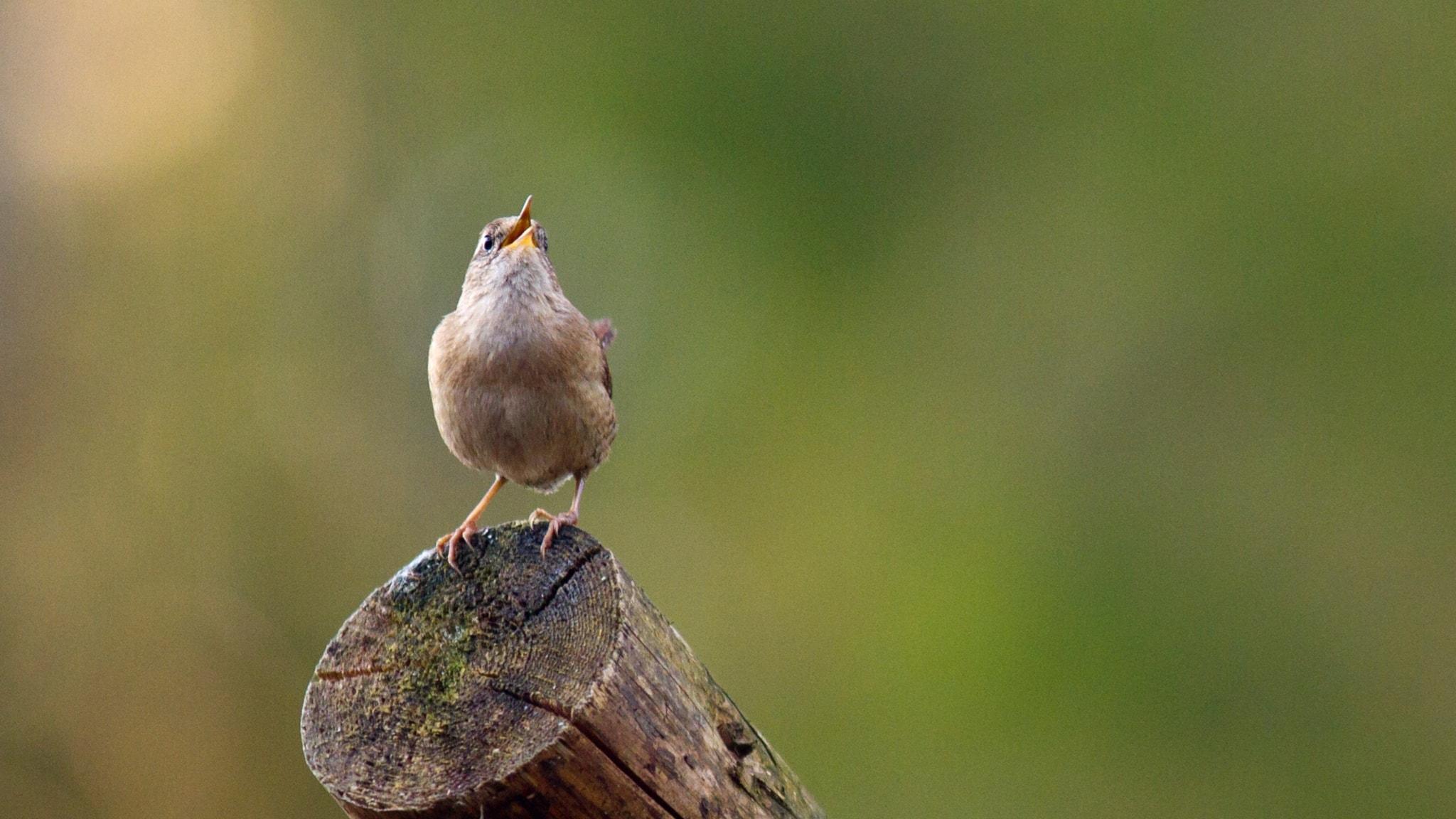 Fågelsånglektion #17: gärdsmyg och rödhake