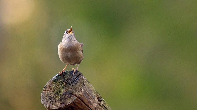 En liten fågel som sitter på avsågad trädgren och sjunger intensivt