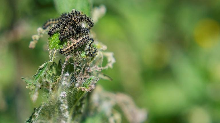 Gula och svarta larver av nässelfjärilar