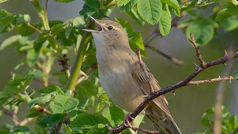 Närbild på sjungande brunspräcklig småfågel på en gren med lövverk som bakgrund. Gräshoppsångare, Locustella naevia