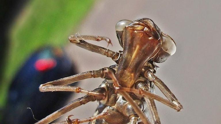 Blågrön mosaikländelarv i närbild där fasettögonen sitter brett isär och de sex benen hålls invikta.