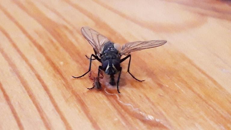En närbild på en fluga som sitter på en bordsskiva av trä. På höger framben sitter ett litet litet småkryp med skorpionliknande utseende.