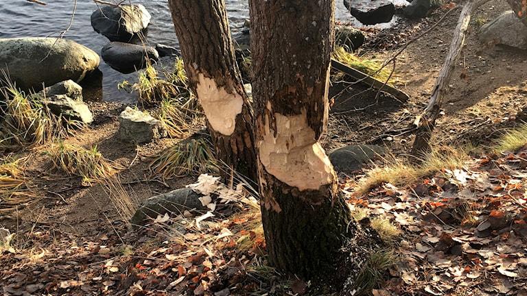 Bävergnag i Skuruparken - hur fort gnager de igenom ett träd?