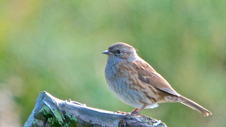 Närbild på diskret brunblå småfågel som sitter på en död gren
