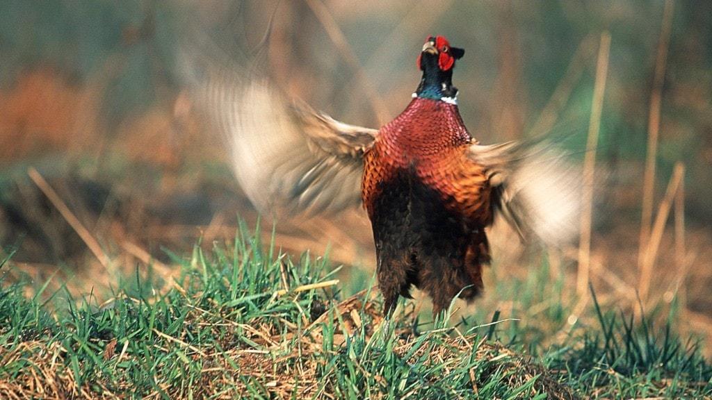 En hönsfågel med brunaktig kropp, lång stjärt och kulört huvud slår med vingarna och ser lite galen ut.