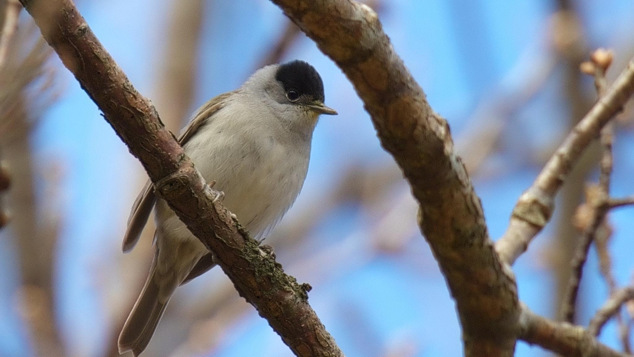 En grå fågel med kepslik svart hätta sitter på en gren