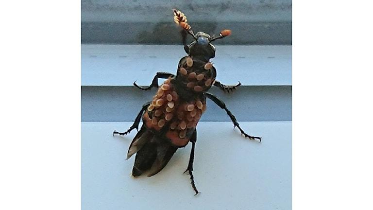 Lena Borssen hittade den här insekten i köksfönstret. De bruna fläckarna på den rörde sig. Vad kan det vara - ungar, otyg? undrar Lena Borssen.