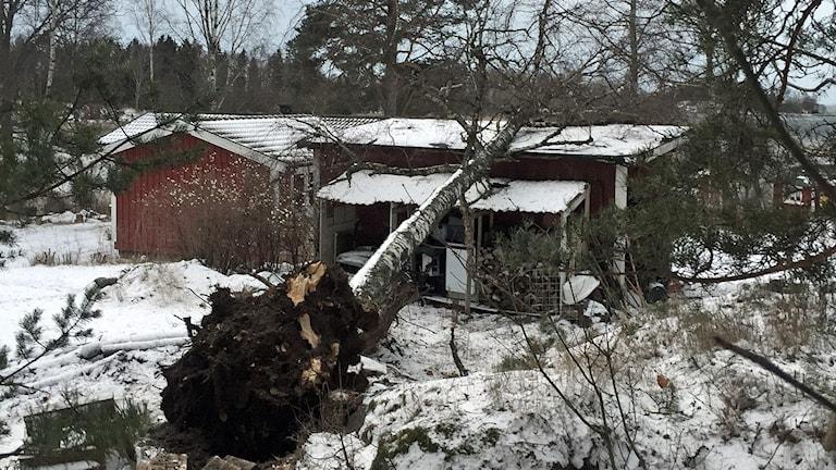 Ett rotvält träd ligger över en röd stuga.