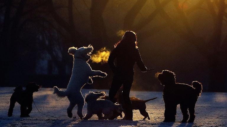 Hundar och deras ägare leker på en frostig gräsmatta.