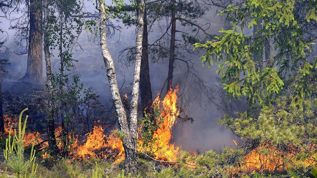 Risken är stor för bränder i skog och mark. Arkivfoto: Pontus Lundahl/TT.