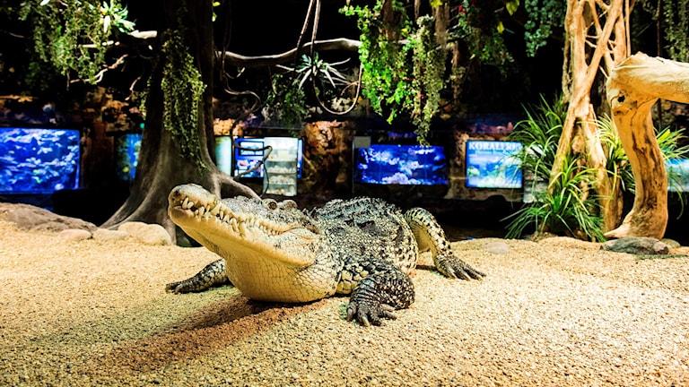 Krokodil på Skansenakvariet