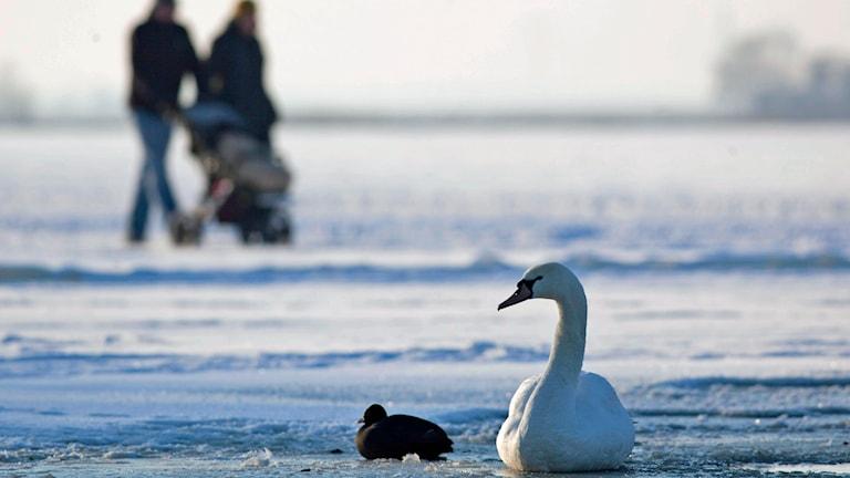 Promenad på isen. Foto: Peter Dejong /TT.