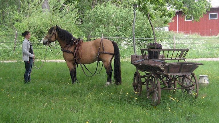Den försvunna hästen Helge i Norrtälje