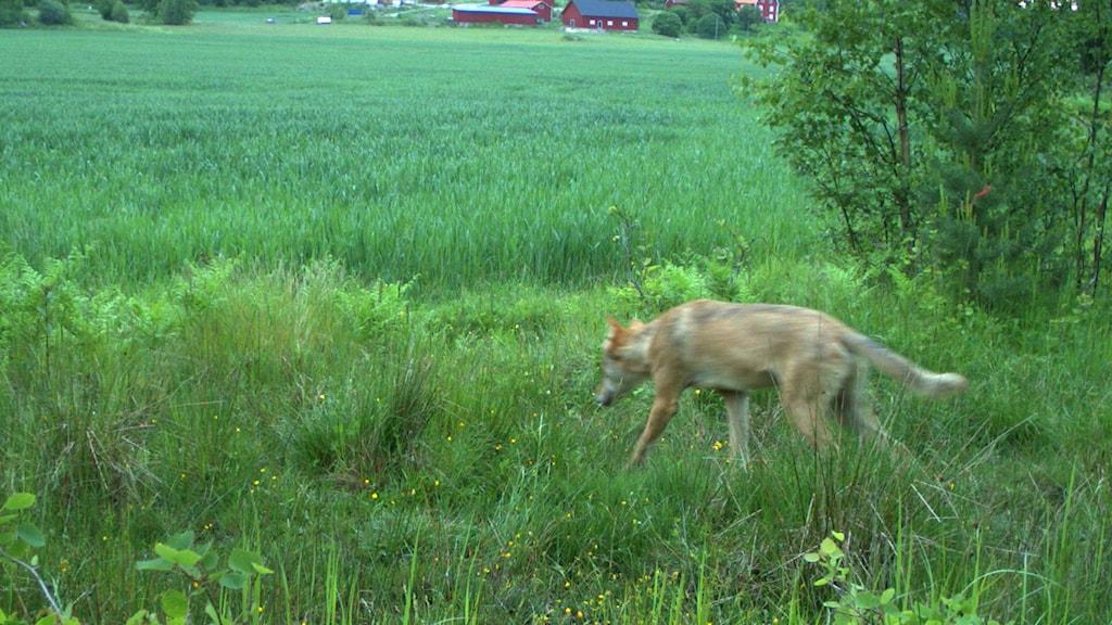 Varg har setts i södra delarna av länet. Foto: Länsstyrelsen.