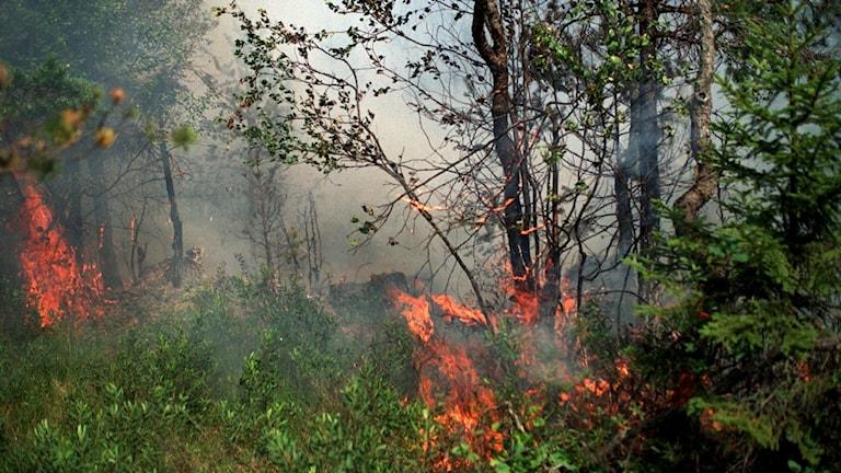 Brand i Tyresta nationalpark 1999. Ett 50-tal brandmän och värnpliktiga bekämpar elden. Foto: Sofia Müller/TT