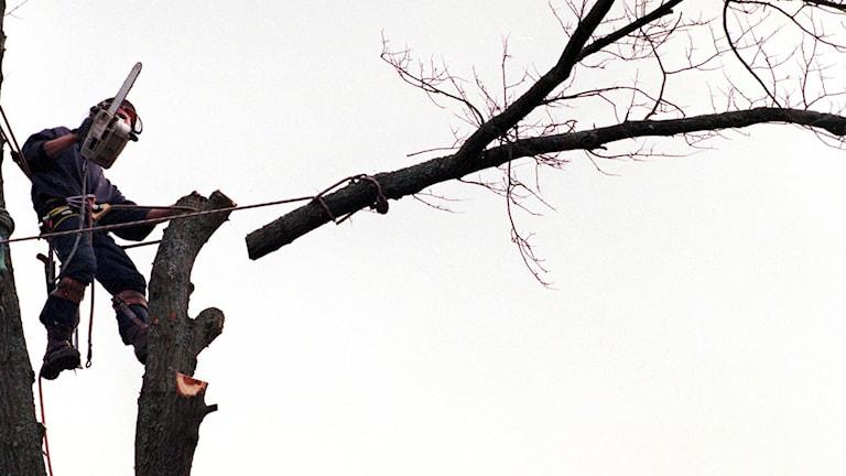 En gren på en alm sågas av. Foto: Jurek Holzer/Scanpix