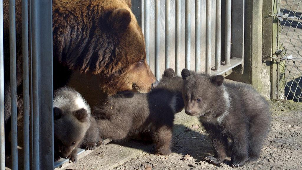 Björnar på Skansen