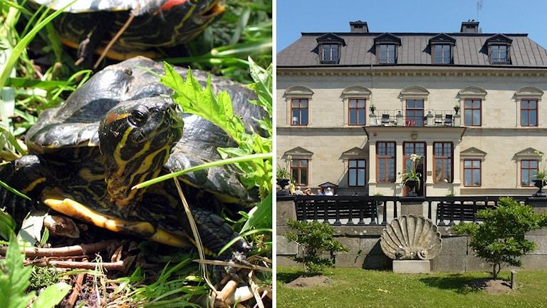Polis körde vilsen vattensköldpadda till Skansen