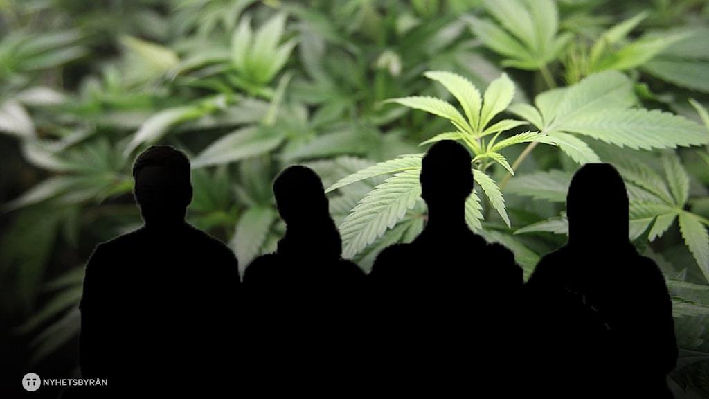 Svarta bilder på människor med cannabisblad