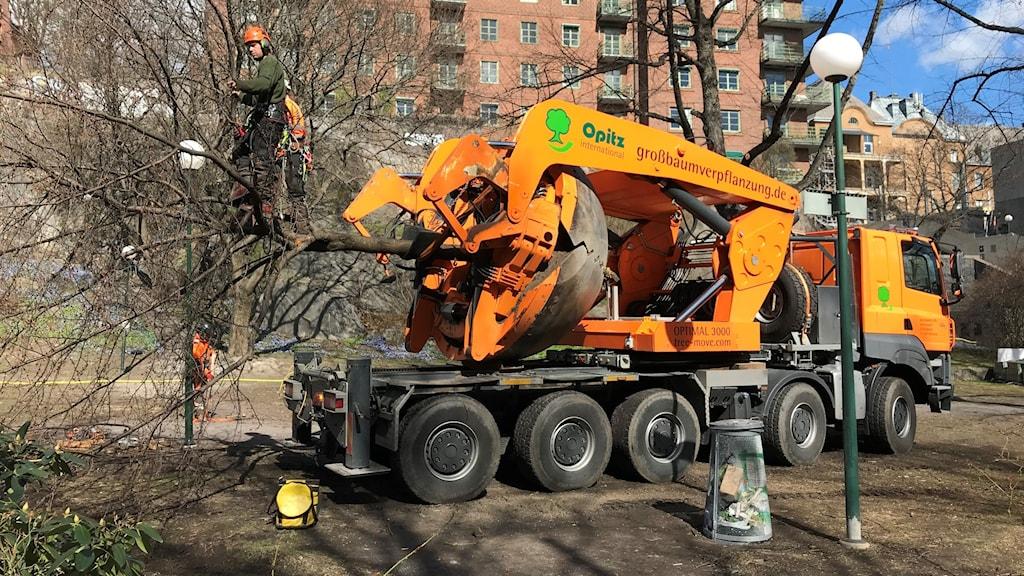 Arborister friserar träden inför färden till Albano.