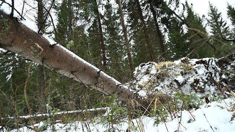 alfrida stormträd