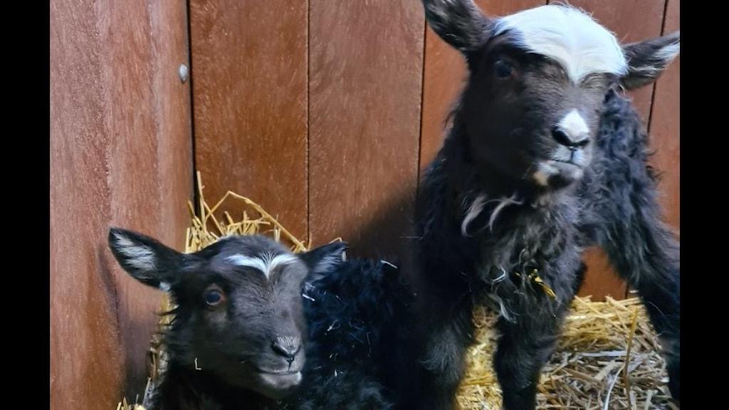 Två svarta lamm.