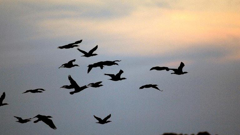 Skarvar som flyger mot kvällshimlen.