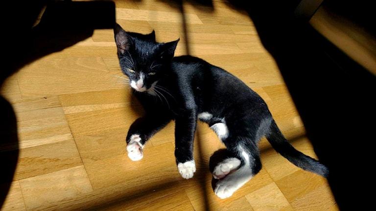 Katten Ebbe