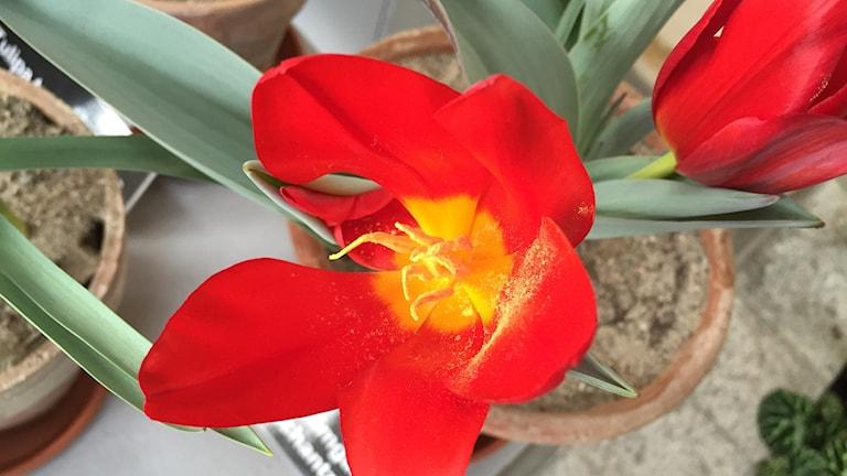 Blommor från organgeriet i Ulriksdal