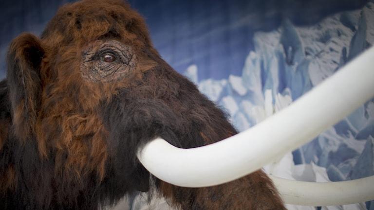En mammut på museum.