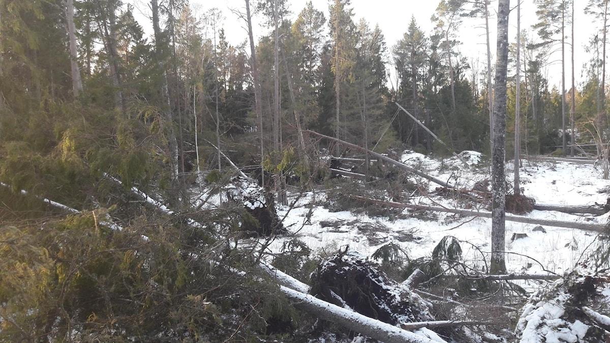 flera fallna träd ligger utspridda i en skog.