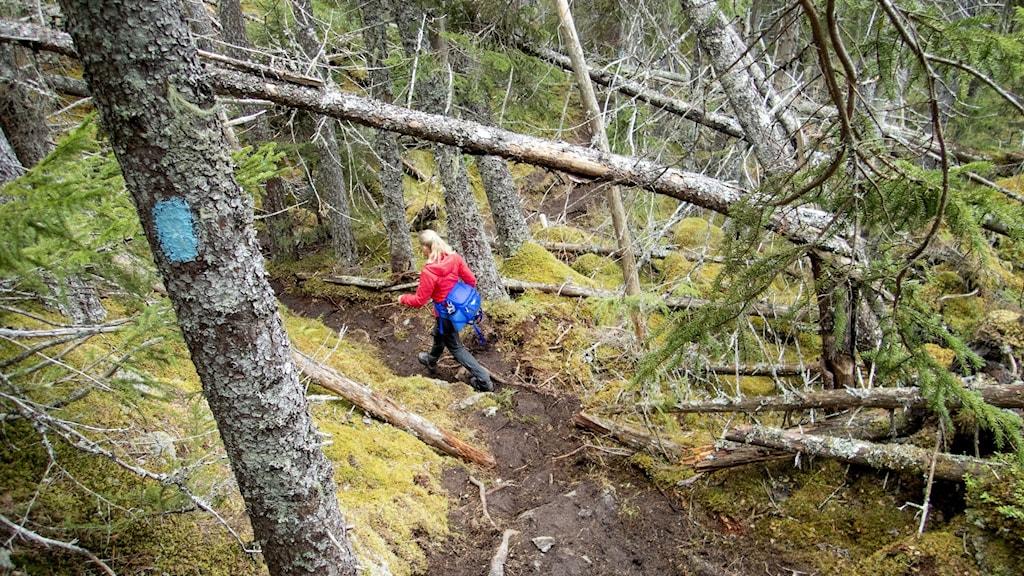 Kvinna på vandring i skogen