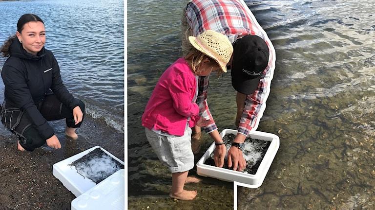 Sommarjobbaren Felicia Niklasson släpper ut ålar från en vit box.